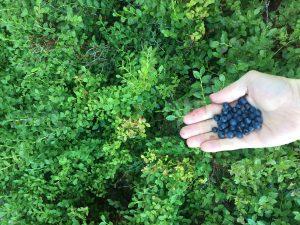 sběr borůvek v čenkovicích